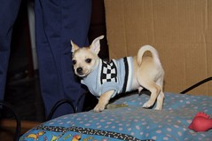 Spanky (WordSquatch) Tags: dog pet chihuahua max pug canine mikey 2006 myboys humphrey spanky faithfulcompanion michaelhansen wwwmahansencom