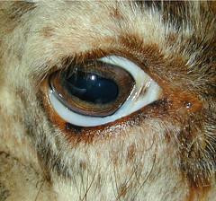 Anemic eye