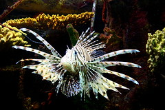 Roar! (Frank Peters) Tags: fish zoo memphis tennessee lionfish memphiszoo animalkingdomelite impressedbeauty