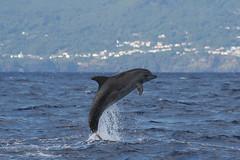 Tursiops Truncatus (PedroMadruga) Tags: ocean sea canon dolphin wildlife pico azores aores roaz abigfave botlenosedolphin anawesomeshot pedromadruga southofpico toninhabrava