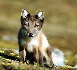 arctic-fox-young
