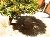pomerančovník (e*v) Tags: trees shadow orange sun spring spain strom jaro stín pomeranč