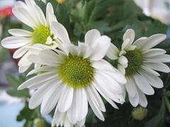 like sisters (janika0) Tags: nature mothernature natures naturalmente flowerpicturesnolimits itsnothumanmade
