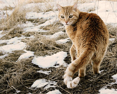 Alert Hunter (MaureenShaughnessy) Tags: cats nature 1025fav cat watercolor walking fun friend tail hunter orangetabby playful alert baggins thehunt ourneighborhood  thelittledoglaughed iamacatperson goingonawalkwithusisjustanfrontforthehunt camfjan09 sam4article