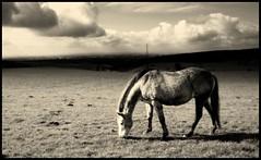 Horse (andrewlee1967) Tags: horse blackandwhite andrewlee1967 uk superaplus aplusphoto canon400d england landscape focusman5 andrewlee