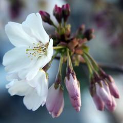 Bayport Blossom (blueDonkey) Tags: flower square blossom bayport alameda