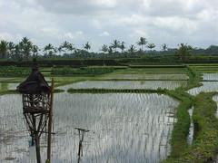 DSC04515 (itzco) Tags: bali ricefield abundance ubud