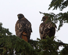 Mr. & Mrs. R.T. Hawk  (from the red rear) - by Rick Leche