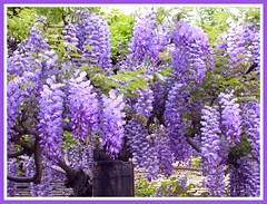 ...spring is here.. (katifelkai) Tags: bravo quality wisteria excellence purpleandgreen supershot magicdonkey i500 specnature abigfave impressedbeauty diamondclassphotographer flickrdiamond interestingnesspg34 magicofspring