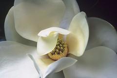 2. magnolia (KathyAdmirePhotography) Tags: flowers macro magnolias naturesfinest superbmasterpiece flickrdiamond