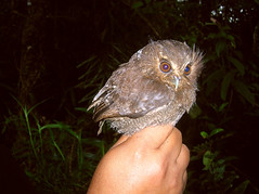 whiskered owl