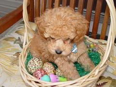 dog cute cup puppy miniature tea poodle duff audit