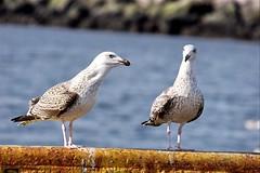Greater Black backed Gull - Larus marinus - Svartbakur/Veiðibjalla