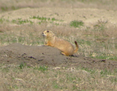 disapproving prairie dog
