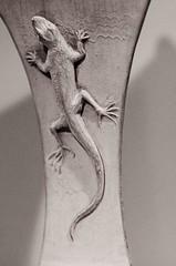 Lizard - by Thomas Hawk
