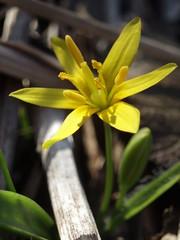 Kollane kuldtht (Gagea lutea) (j.anne4 ( Janne )) Tags: macro spring flickr makro kevad naturesfinest superbmasterpiece janne4janne