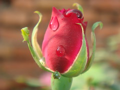 rose, flower (jk10976) Tags: flowers nepal flower macro rose valentine explore kathmandu breathtaking naturesfinest blueribbonwinner happyvalentine abigfave platinumphoto impressedbeauty superaplus aplusphoto superbmasterpiece firsttheearth wowiekazowie flickrdiamond top20red jk10976 excapture jkjk976 excellentsflowers flickrfloresemacros