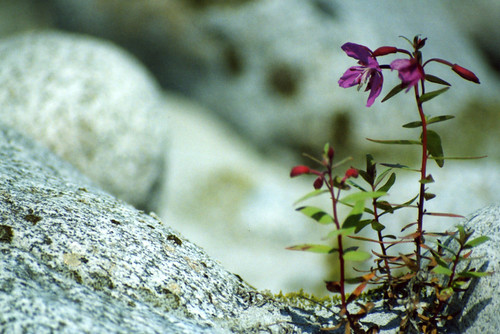 Fireweed Colonizing the Moraine