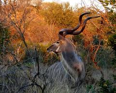 Kudu at sunset (Arno Meintjes Wildlife) Tags: africa wallpaper nature animal bush bravo wildlife safari explore soe rsa naturesfinest greaterkudu interestingness139 i500 specanimal anawesomeshot ultimateshot arnomeintjes