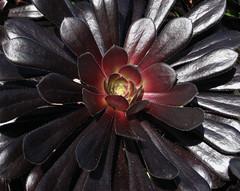 darkstar.jpg (badthings) Tags: garden march blackhead crassulaceae 2007 zwartkop schwartzkopf aeoniumarboreum