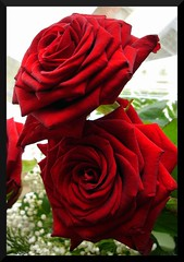 Bi gorri rosa / Dos rosas rojas / Two red roses (iosebasque) Tags: flowers red roses flower macro rojo flor rosas par pare loreak lorea naturesfinest gorri ltytr2 ltytr1 errosak