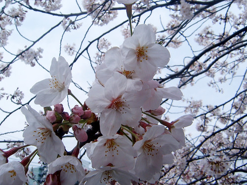 Japanese cherry tree (sakura)