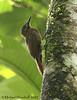 Plain-brown Woodcreeper (Michael Woodruff) Tags: bird birds ecuador birding choco woodcreeper pvm plainbrownwoodcreeper dendrocinclafuliginosa nwecuador riosilanche plainbrown dendrocincla
