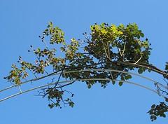 climbing roses on a trellis against blue sky