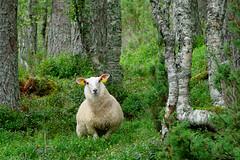 N06 30 sheep looks interested (kaa_ho) Tags: trees plants grass animal norway forest norge sheep natur pflanzen meadow wiese norwegen 2006 gras wald planten tier dyr schaf bumen