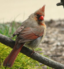 Awesome Coloring On Her!!! (Trish Overton) Tags: tree bird birds female cardinal indiana avianexcellence
