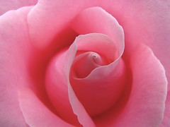 Easter Rose background (Brian A Petersen) Tags: pink flower beauty rose easter god background brian sunday petal creation bp delicate petersen bpbp brianpetersen brianapetersen