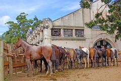 El Prado (Eduardo Amorim) Tags: horses southamerica uruguay caballos cavalos prado montevideo herd chevaux amricadosul montevidu uruguai amriquedusud sudamrica suramrica amricadelsur sdamerika gregge troupeau herde americadelsud tropilla americameridionale tropilha semanacriolla semanacriolladelprado eduardoamorim