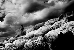 The Shepherd and his Sheep (Luis Montemayor) Tags: sky man blancoynegro lana wool mexico sheep shepherd explore cielo pastor hombre oveja myfavs ovejas iztaccihuatl abigfave diamondclassphotographer