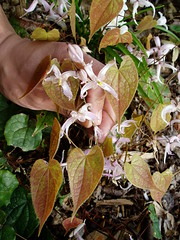 Epimedium leptorhizum with new foliage