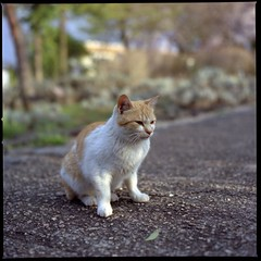 cute kitten (HASSELBLAD 500C/M) (potopoto53age) Tags: cute 6x6 film animal japan zeiss cat t kodak kitty hasselblad brownie lovely 160vc portra kodakportra160vc planar cutekitten 80mm hassel carlzeiss hasselblad500cm cc100 kittysuperstar kittyschoice diamondclassphotographer flickrdiamond carlzeissplanar80mmf28t pet1000