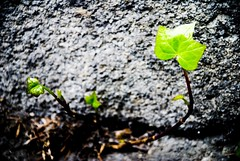 Opening Path / Abriendo Camino (victor_nuno) Tags: naturaleza verde green hoja nature ilovenature leaf nikon shine explore thoughts simplicity book1 soe 2007 pensamientos brilla sencillez interestingness429 i500 d80 nikond80 victornuno vctornuo wwwvictornunocom openingpath abriendocamino findyourpath buscatucamino