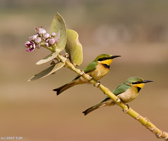 Little Bee-eaters  (Merops pusillus) (tj.haslam) Tags: wild bird birds geotagged bravo e300 50200mm birdwatching soe senegambia zd littlebeeeater meropspusillus magicdonkey ec14 specanimal abigfave birdsofwestafrica avianexcellence birdsgs meropspusilluspusillus nozooshots