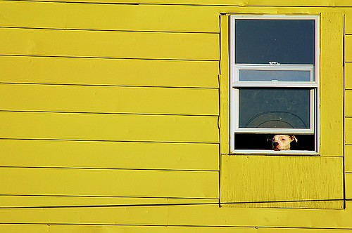 curious dog in the window of a yellow house