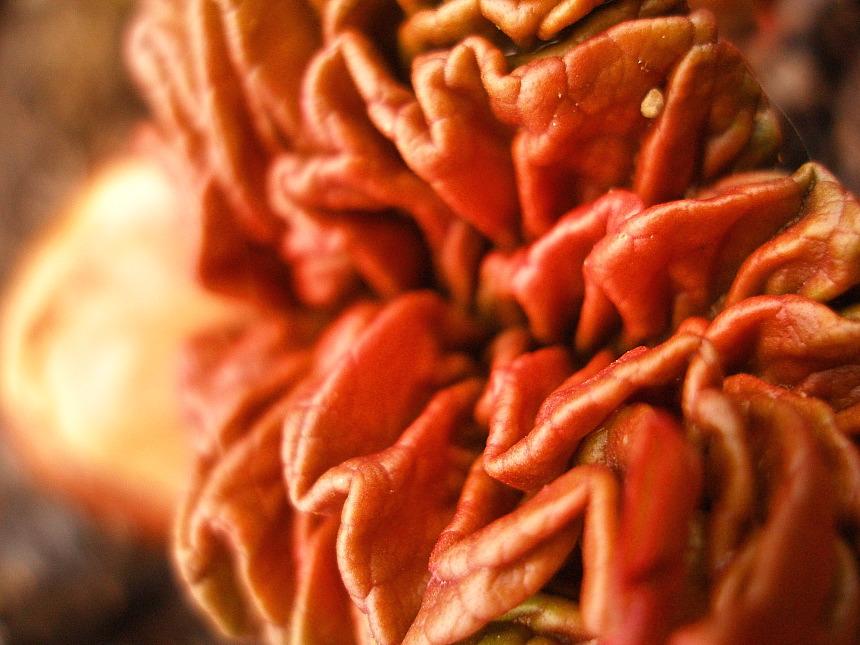 Rhubarb uncoils