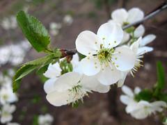 Pie-Cherry Blossom