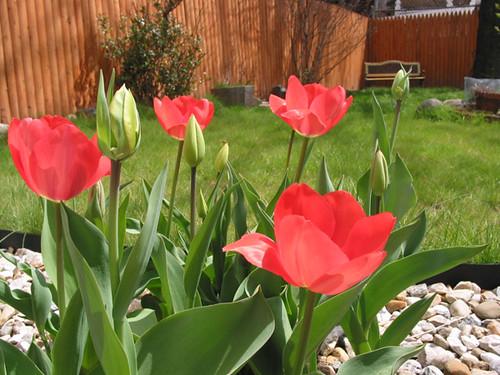 tulilps