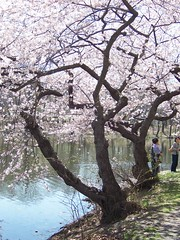 Cherry Blossoms in Branch Brook Park, Newark, New Jersey