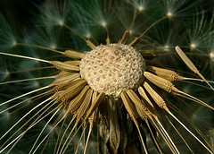 Be out of flower ........ (Astrid Photography.) Tags: flower nature netherlands spring searchthebest seed capsule dandelion naturesfinest blueribbonwinner flickrsbest mywinner abigfave outstandingshot flickrgold astridphotography impressedbeauty superaplus aplusphoto superbmasterpiece diamondclassphotographer explorer70
