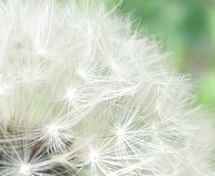 angel (Marie Eve K.A. (away..)) Tags: white macro nature angel soft dandelion dandy naturalmente dandelionseed supershot 07y4m21d124546