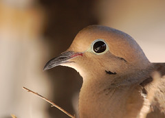 Mourning Dove (sandy.redding) Tags: birds dove wildlife blogged naturesfinest explored nikkor55200mmf456g diamondclassphotographer flickrdiamond flickrphotoaward 800isobecauseiamamoron kerncountyphotographers