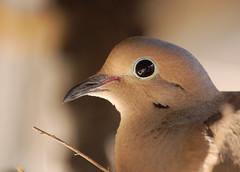 Mourning Dove (sandy.redding) Tags: birds dove wildlife blogged naturesfinest explored nikkor55200mmf456g diamondclassphotographer flickrdiamond flickrphotoaward 800isobecauseiamamoron kerncountyphotographers