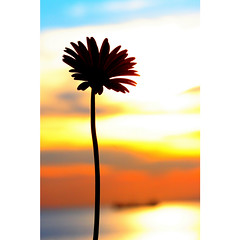 graceful encore (DocTony Photography) Tags: flowers sunset sky sun plant flower nature water silhouette bay nikon bravo blossom philippines gerbera manila daisy bloom blooms pinoy interestingness97 explorefrontpage d80 abigfave anawesomeshot superaplus aplusphoto doctony superhearts explore29april2007