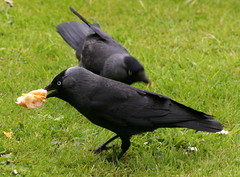 Cheese on white please, hold the mayo! (foxypar4) Tags: food scotland eating sandwich crow sutherland dornoch jackdaw
