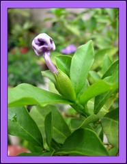 Brunfelsia pauciflora's bud is beautiful, resembling E.T - the extra-terrestrial?
