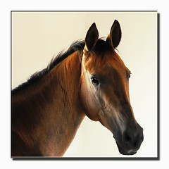 portrait in gold (Dan65) Tags: 2 portrait horse bravo head explore stable pferd akhalteke gazan